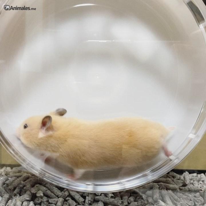 Hamster dorado corriendo en su rueda