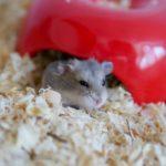 Hamster enano de Campbell en la entrada de su madriguera