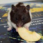Hamster panda comiendo un trozo de manzana