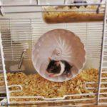 Hamster panda corriendo en la rueda