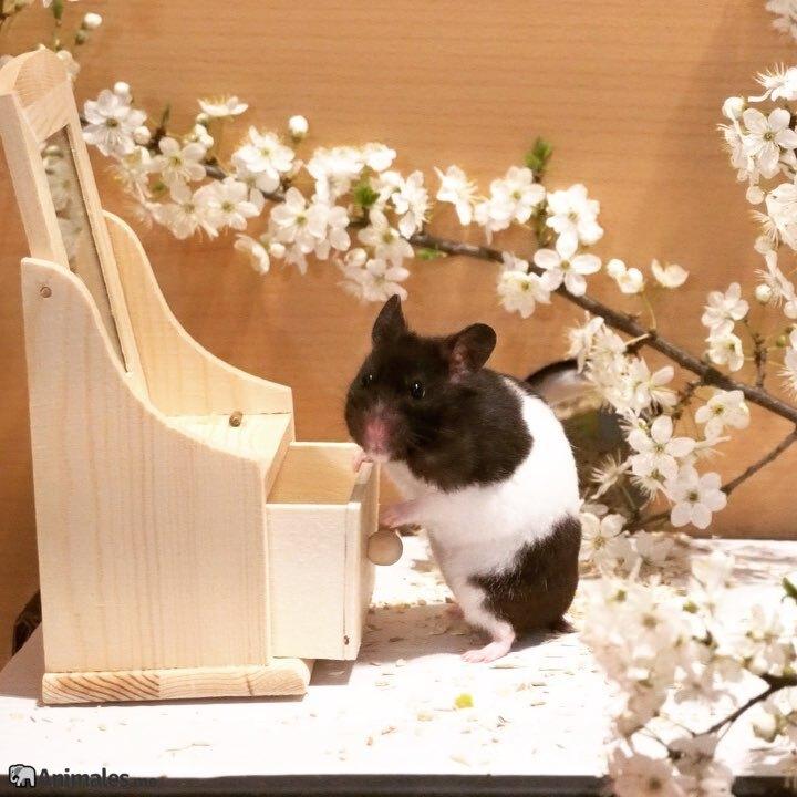 Hamster panda investigando
