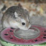 Hamster roborovski bebiendo
