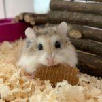 Hamster roborovskii comiendo una galletita