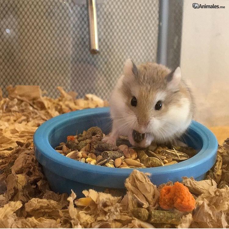 Hamster roborowski comiendo