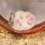 Hamster roborowski durmiendo en su rueda