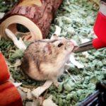Hamster ruso bebiendo