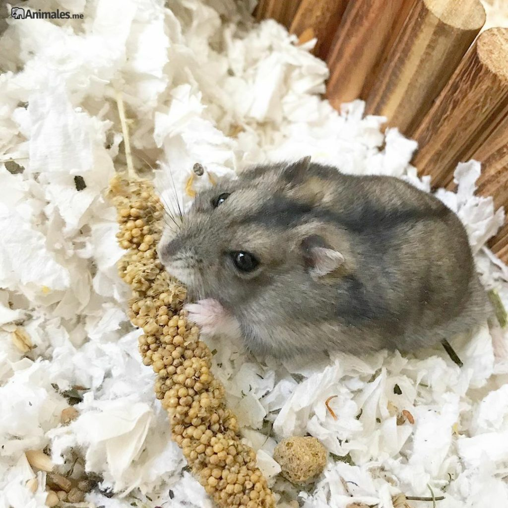 Hamster ruso comiendo