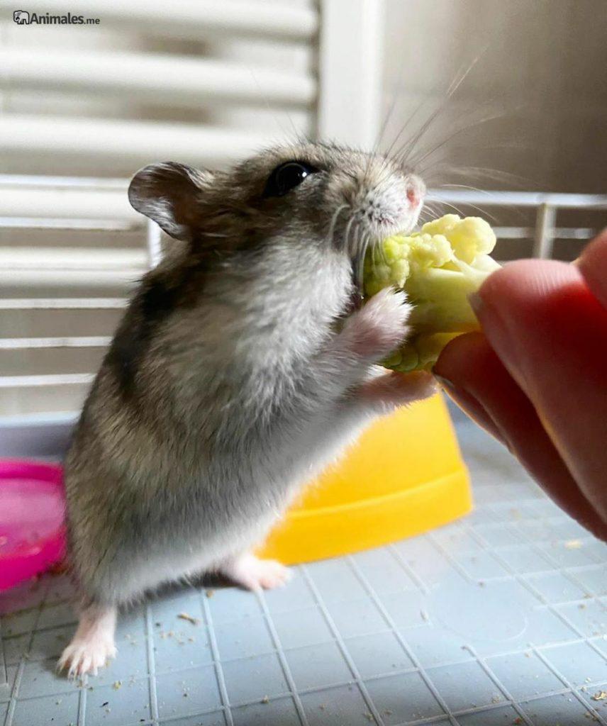 Hamster ruso comiendo brocoli