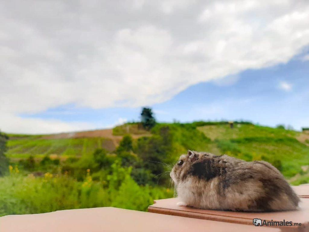 Hamster ruso contemplando las vistas