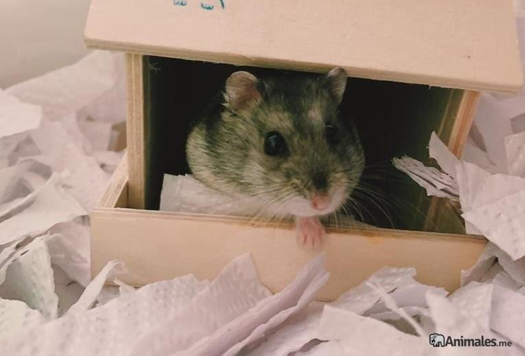 Hamster ruso en su casita