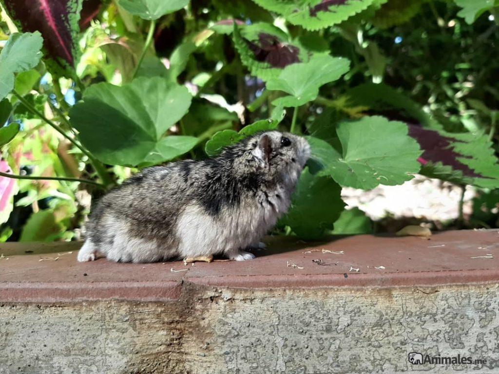 Hamster ruso investigando por el jardin