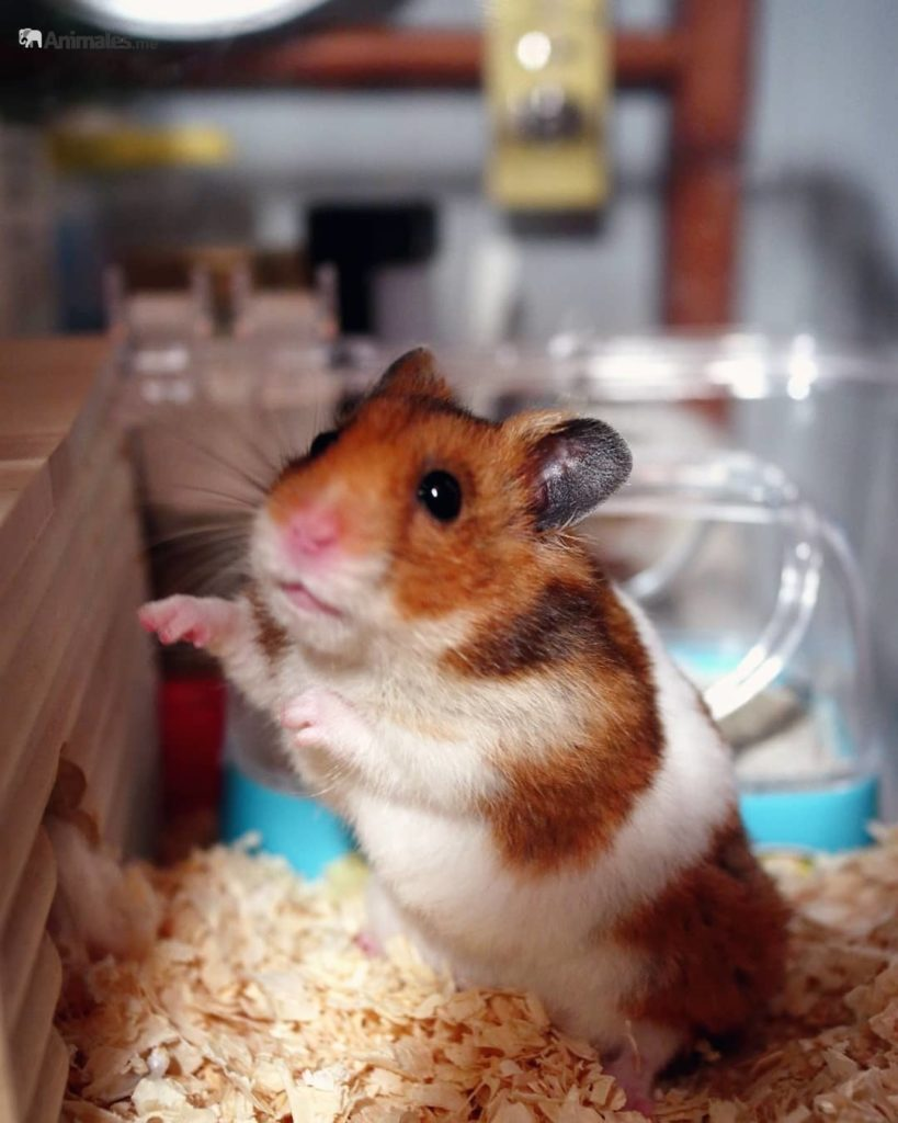 Hamster sirio a 2 patas