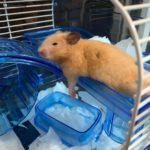 Hamster sirio descansando