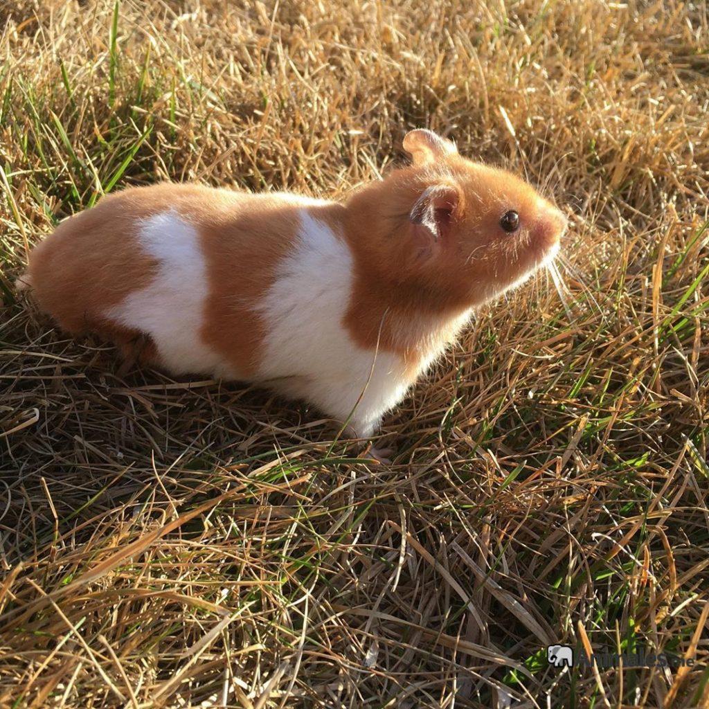 Hamster suelto por el cesped