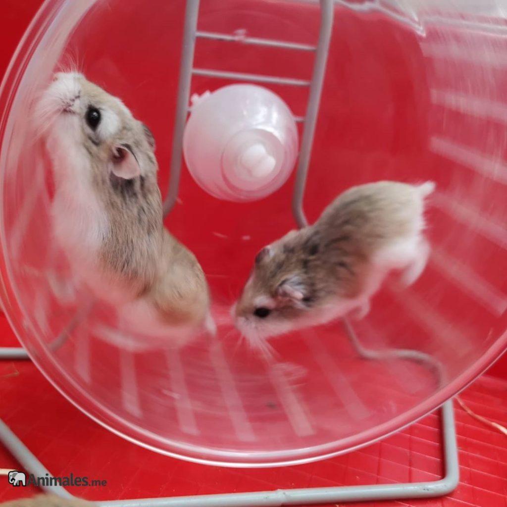 Hamsteres Roborovskis corriendo en su rueda