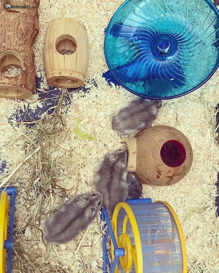 Hamsteres rusos jugando en su jaula