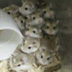 Hamsters Roborovski bebes
