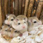 Hamsters Roborowskis bebes
