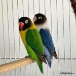 Inseparables enmascarado o cabecinegro (Agapornis personatus), uno verde y otro azul