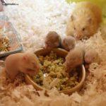 Madre Hamster sirio con sus crías comiendo