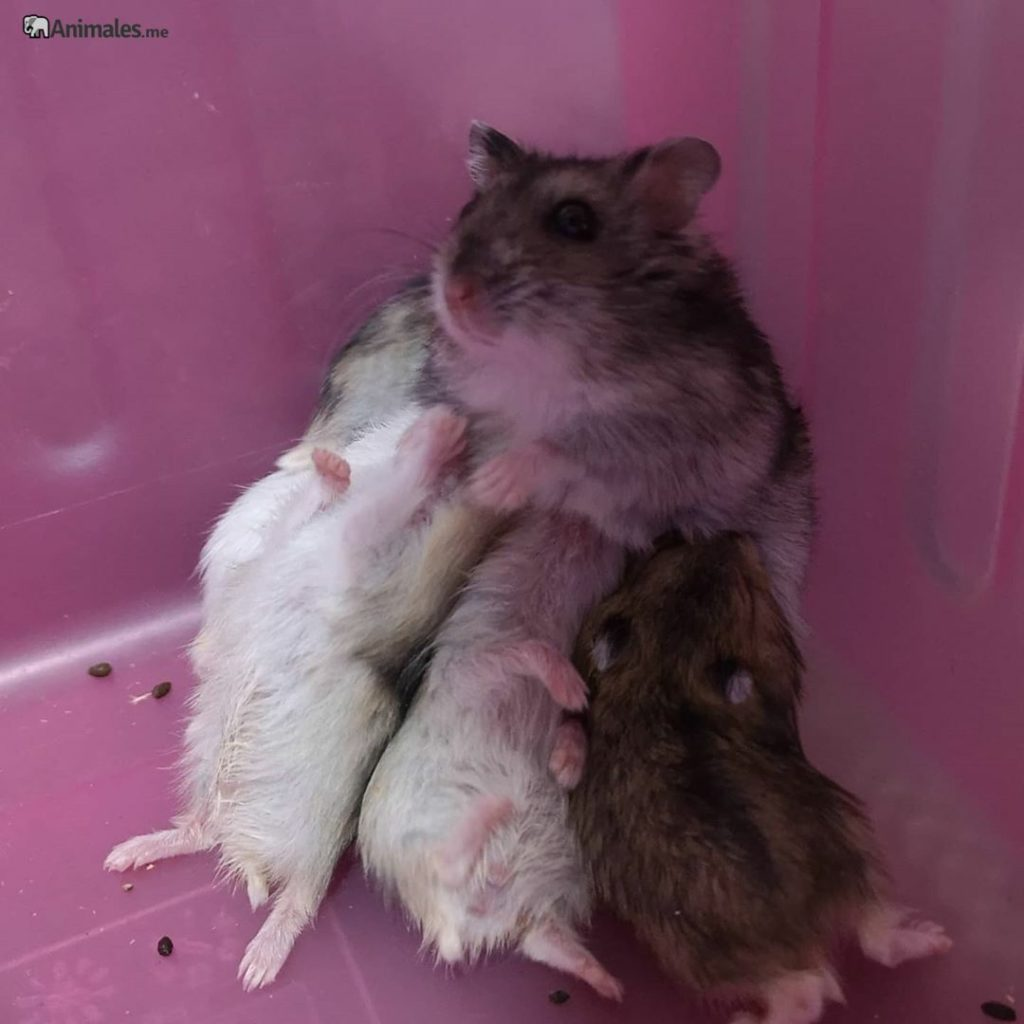 Madre hamster ruso amamantando a sus crías