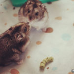 Pareja de Hamsters Chinos