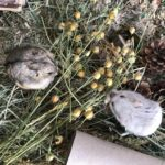 Pareja de Hamsters de Campbell comiendo hierba