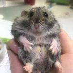 Parte inferior del Hamster chino