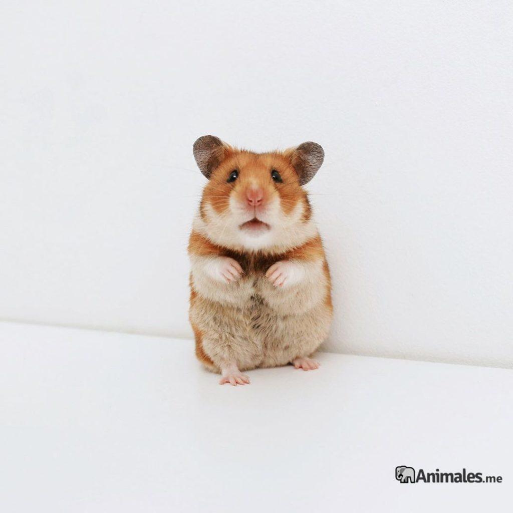 Precioso Hamster Dorado a dos patas