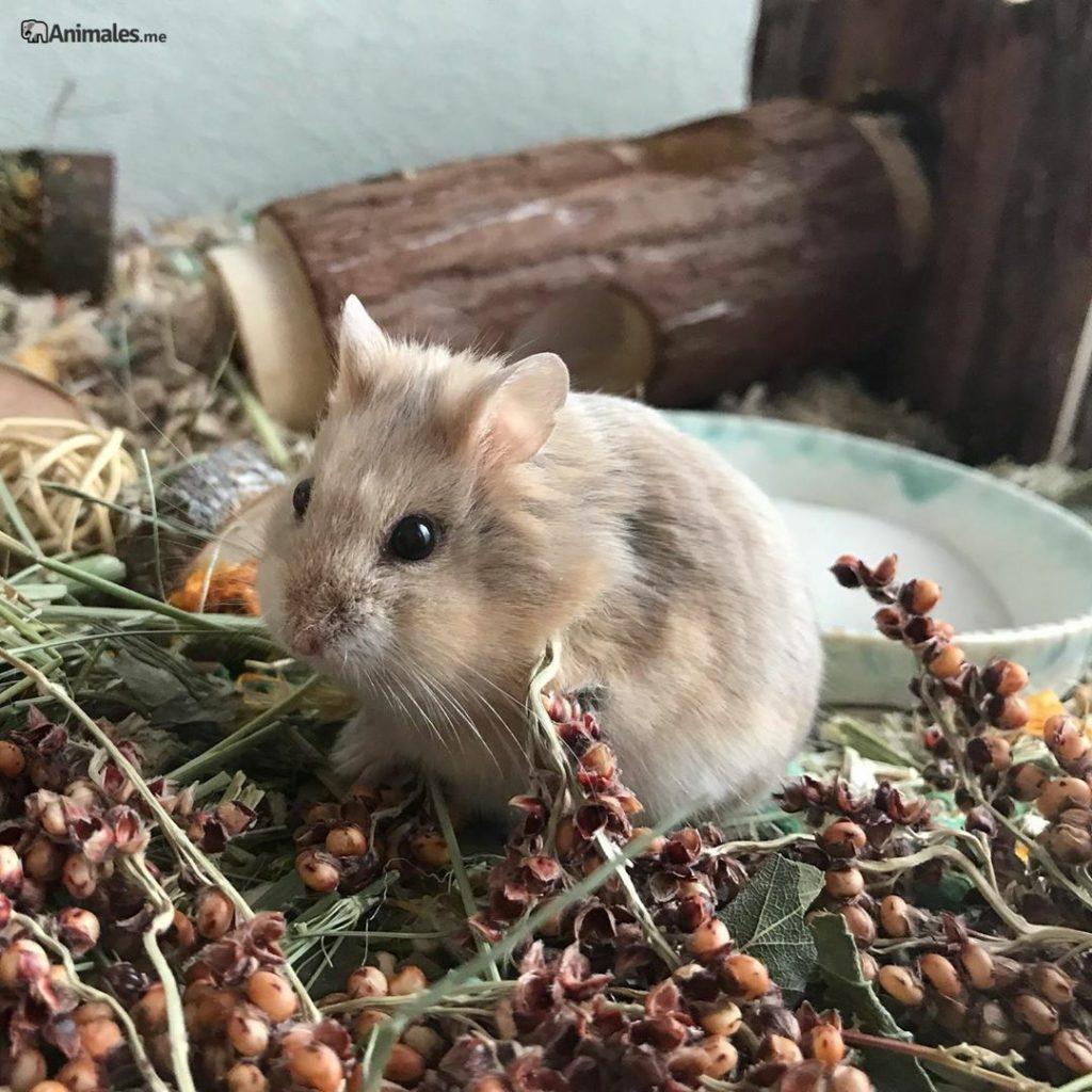Precioso Hamster de Campbell