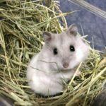 Tierno Hamster de Campbell
