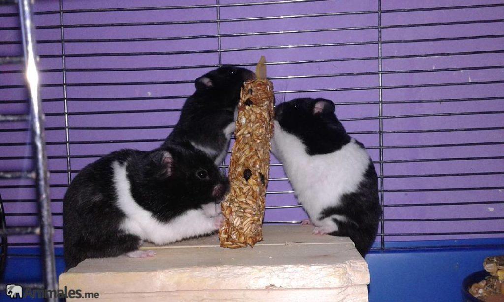 Tres hamsters panda comiendo barrita